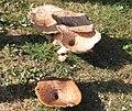 Group of mushrooms.JPG