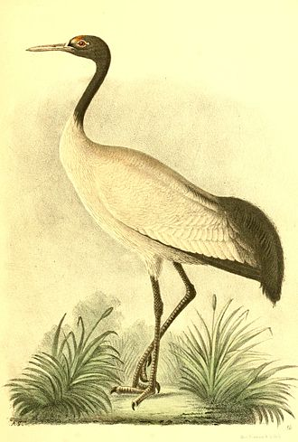 Black-necked crane - Copy of an illustration by Nikolai Przhevalsky who gave the species its binomial name