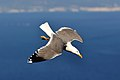 Gull of Gibraltar (8483055557).jpg