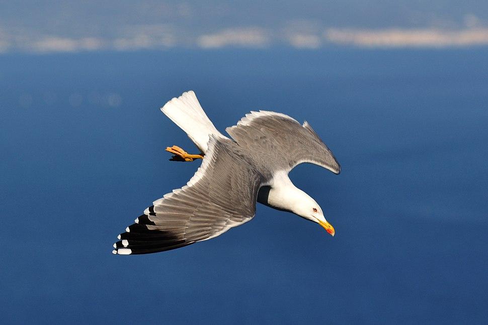 Gull of Gibraltar (8483055557)
