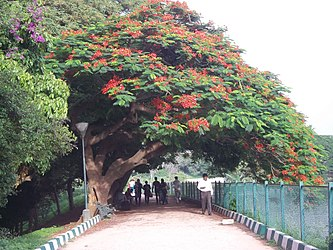 shady gulmohar tree overhanging path in lalbagh garden