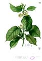 Gymnema inodorum Blanco2.402.png
