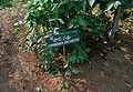 Gymnema sylvestre W IMG 3123.jpg
