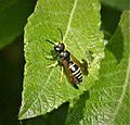 Gymnomerus laevipes, male. (49232077853).jpg