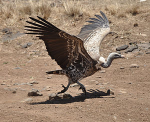 Aegypiinae - Image: Gyps rueppellii Nairobi National Park, Kenya 8 4c