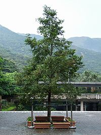 HK Aquilaria sinensis