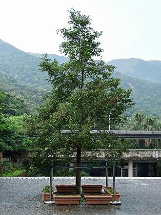 Aquilaria sinensis - Image: HK Aquilaria sinensis