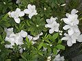 HK Plants Shatin Shing Mun River White Flowers 1.JPG