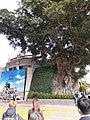 HK TST 尖沙咀 Tsim Sha Tsui 梳士巴利道 Salisbury Road Canton Road 1881 Chinese banyan tree January 2020 SS2.jpg