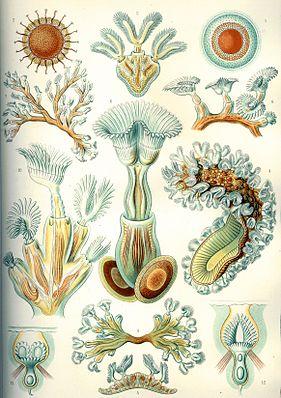 Moostierchen, aus Ernst Haeckel, Kunstformen der Natur