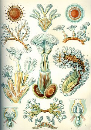 Marine invertebrates - Bryozoa, from Ernst Haeckel's Kunstformen der Natur, 1904