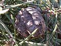 Hairy Hakea nut (3493770448).jpg