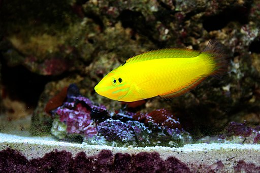 Halichoeres chrysus-Yellow Wrasse