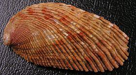 Haliotis elegans 001.jpg