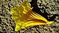 Handroanthus chrysotrichus (Mart. ex DC.) Mattos - Flickr - Alex Popovkin, Bahia, Brazil (13).jpg