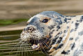 Happy seal (14955448289).jpg