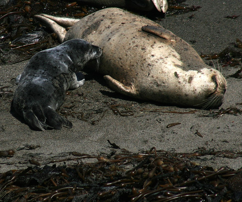 Harbor seal is nurcing at Point Lobos