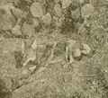 Harding (1909) Trapped Texas coyote.png
