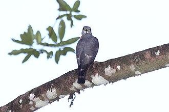 Harpagus (bird) - Double-toothed kite (Harpagus bidentatus)