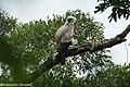 Harpy Eagle immature - Darién - Panama (48439753012).jpg