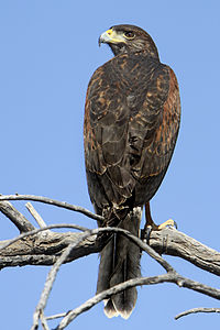 Harris's Hawk (Parabuteo unicinctus) 4 of 4 in set.jpg