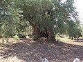 Hashimiyya ancient olive tree3.jpg