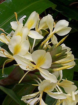 Hedychium flavescens by Wilder.JPG