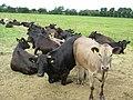 Heifers at Netherton - geograph.org.uk - 851404.jpg