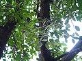 Helicanthes elasticus (Desv.) Danser (21690951248).jpg