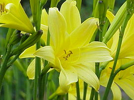 Hemerocallis sp 01.jpg