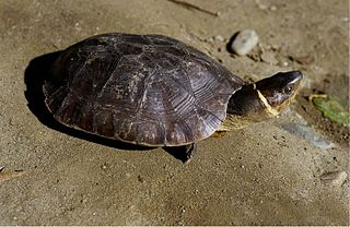 <i>Siebenrockiella</i> genus of reptiles