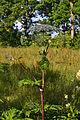 Heracleum mantegazzianum 03.JPG