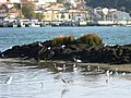 Herons and seagulls enjoying the day (4095801283) (2).jpg