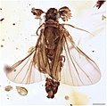 Heterobathmilla kakopoios dorsal.jpg