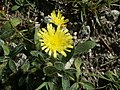 Hieracium peleterianum17.jpg