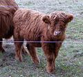 Highland-Rind Kraupa 2016 P1080145.jpg