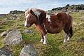 Hill Pony on Rowtor, Dartmoor.jpg