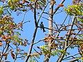 Himalayan Black Bulbul - Hypsipetes leucocephalus - Mar07 168.jpg