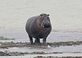 Hippo walking.jpg