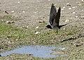 Hirundo rustica - Barn Swallow 04.jpg