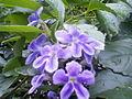 Hoa chuỗi ngọc.jpg