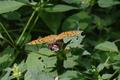 Hoher Vogelsberg Rehberg Argynnis paphia F Lamium f.png