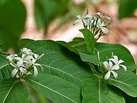 Holarrhena pubescens in Ananthagiri, AP W2 IMG 9244