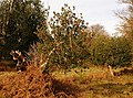 Holly bush near Speech House, Forest of Dean - geograph.org.uk - 1053608.jpg