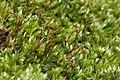 Homalothecium sericeum (g, 144333-475043) 7995.JPG