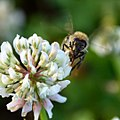 Honeybee on Clover 02.jpg