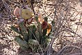 Hoodia gordonii-1491 - Flickr - Ragnhild & Neil Crawford.jpg