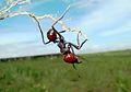 Hormiga Obrera del bachaco Culón.JPG