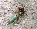 Hornet eating mantis-1.jpg
