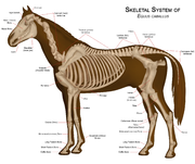 The skeletal system of a modern horse.